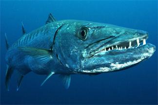 FOTO Barracuda